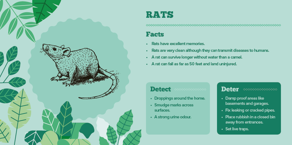 rats - bugs in your home IAC