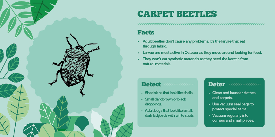 carpet beetles - bugs in your home IAC