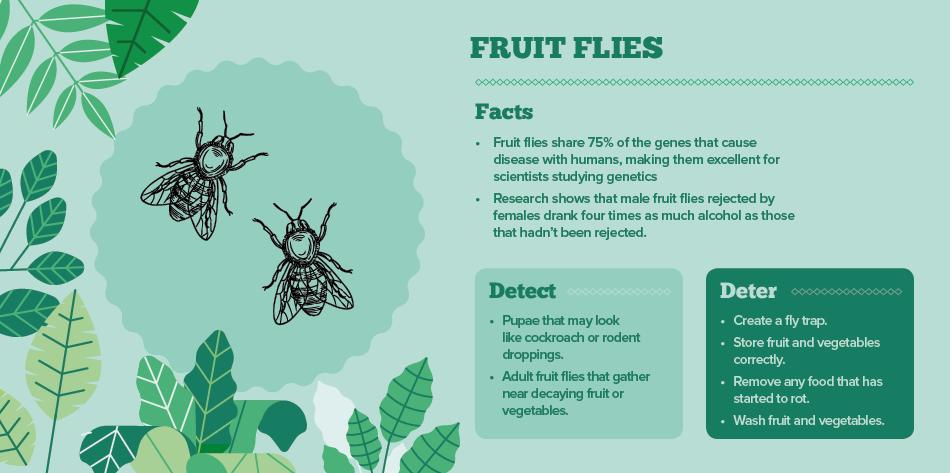 fruit flies - bugs in your home IAC